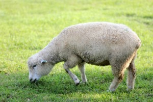 羊の手触りはかなりやわらかくて、フワフワした感じで気持ちよかったです。