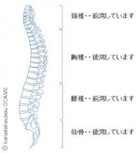 脊柱は元々、 腰椎前弯、胸椎後弯、頸椎前弯 という生理的に正常な弯曲があります。